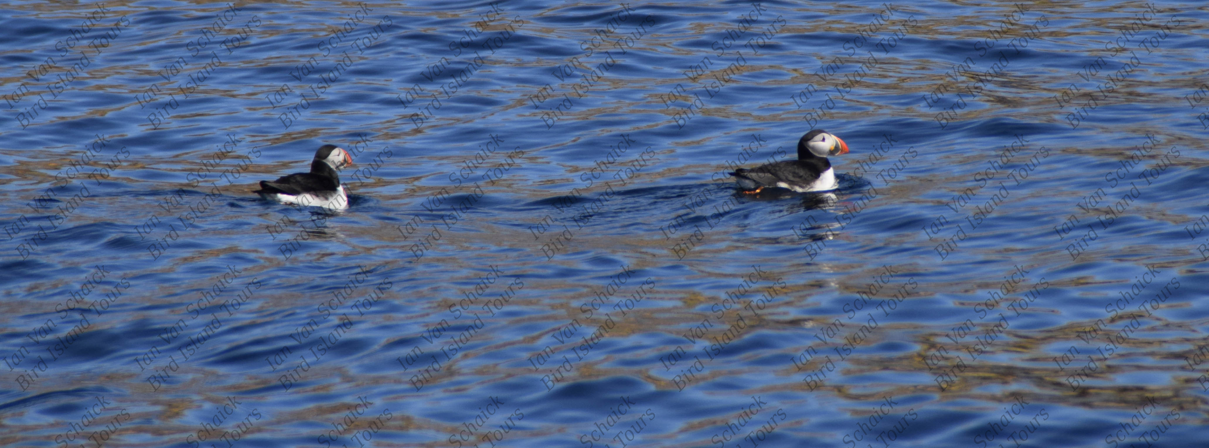 Two puffins on the water