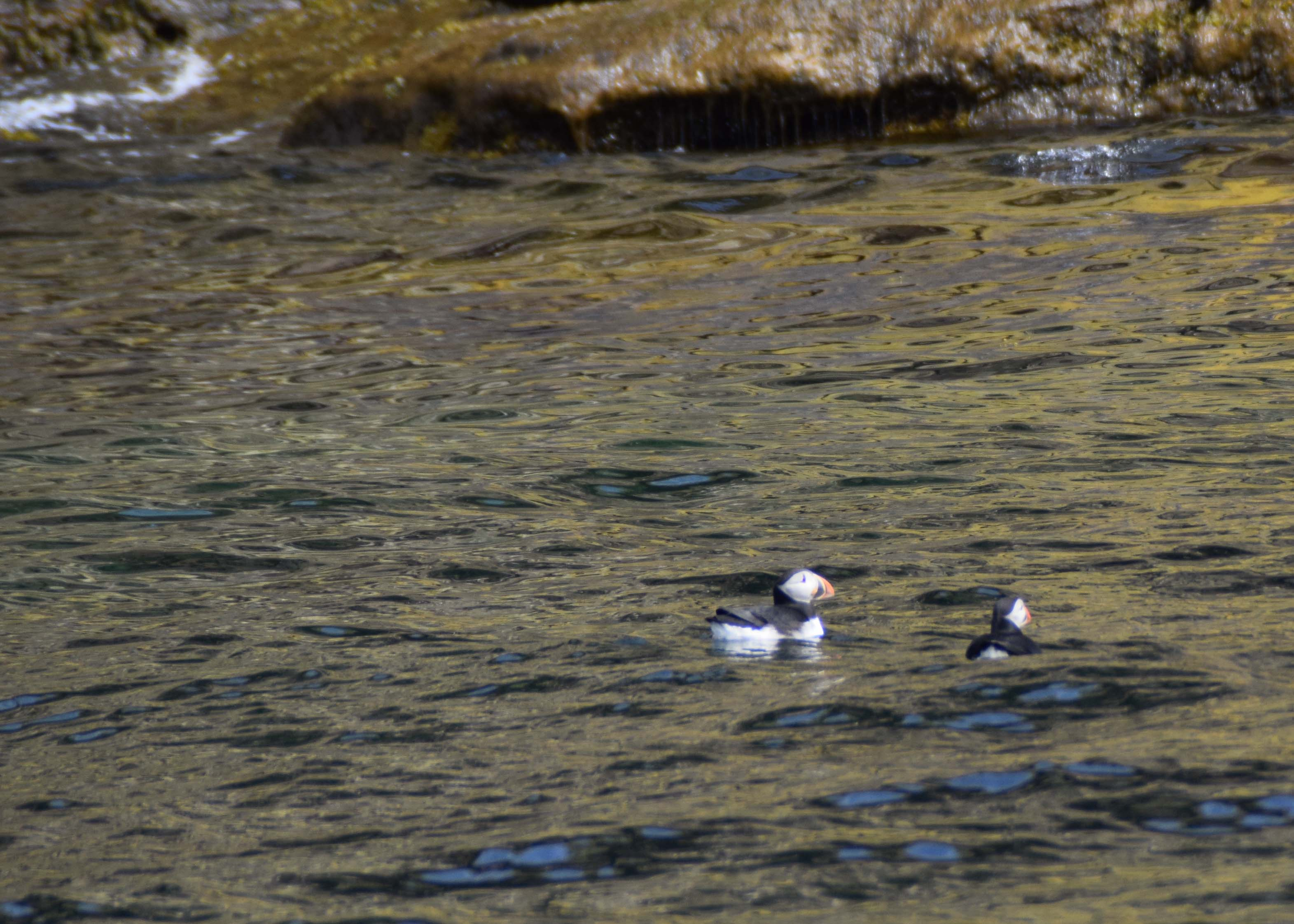 2 Puffins in the water